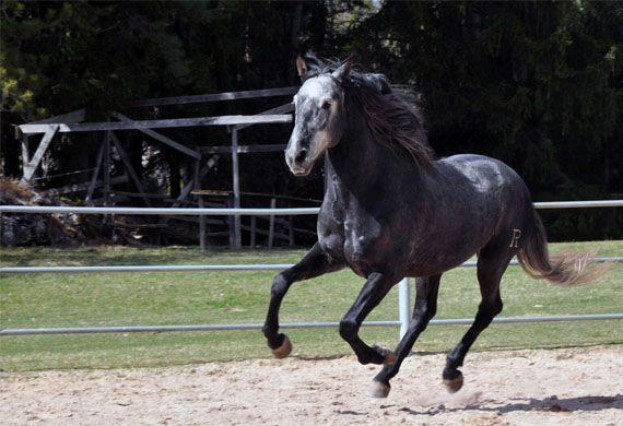 Cavallo che galoppa