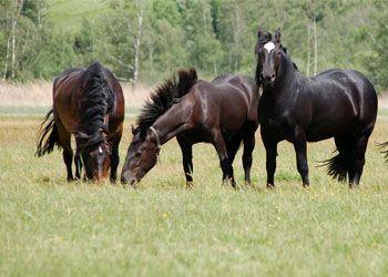 Cavalli liberi che pascolano