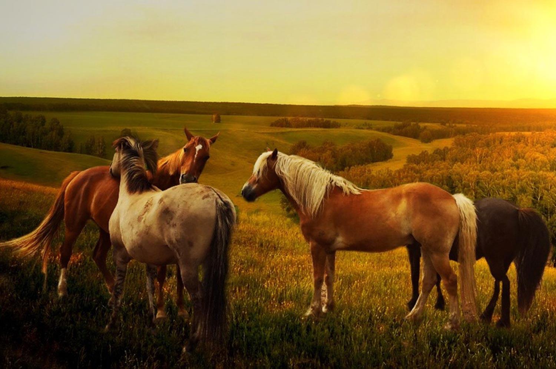 Cavalli in campagna al tramonto
